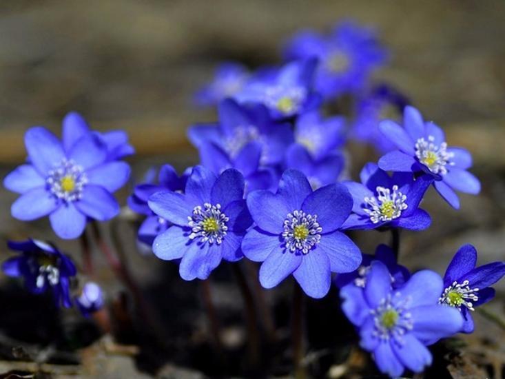 Печеночник цветов